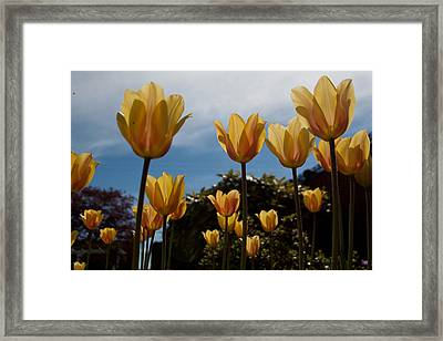 2012 Tulips 06 Framed Print by Robert  Torkomian