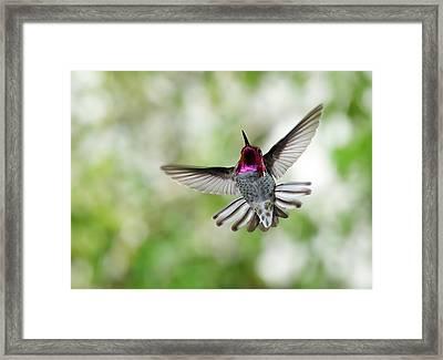 Anna's Hummingbird Framed Print by Thy Bun