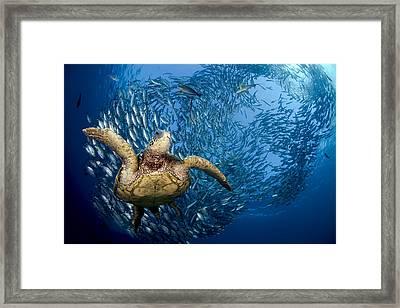 Green Sea Turtle Framed Print by Dave Fleetham