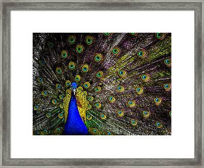 Peacock Framed Print by Brian Stevens
