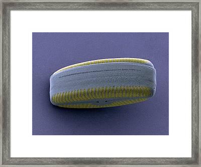 Diatom, Sem Framed Print by Steve Gschmeissner
