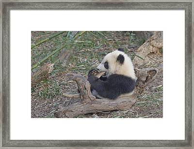 A Baby Panda Plays On A Branch Framed Print