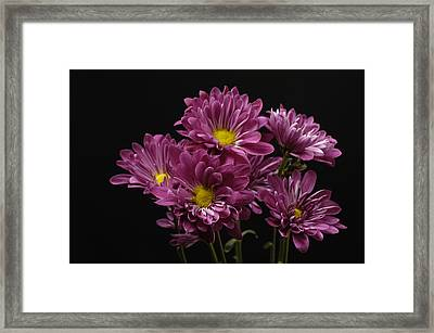 A Bouquet Of Chrysanthemums Framed Print by Joel Sartore