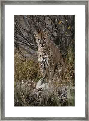 A Mountain Lion, Felis Concolor Framed Print by Jim And Jamie Dutcher