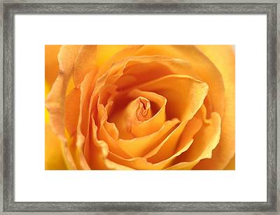 A Peach-colored Rose Rosaceae Framed Print by Joel Sartore