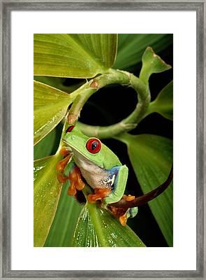 A Red-eyed Tree Frog Agalychnis Framed Print