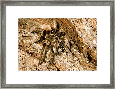 A Tarantula Living In Mangrove Forest Framed Print by Tim Laman