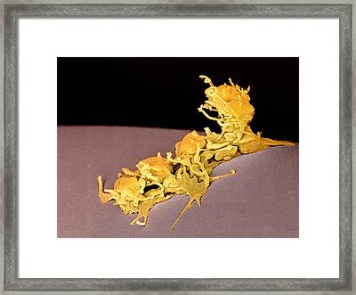 Activated Platelets, Sem Framed Print by Steve Gschmeissner