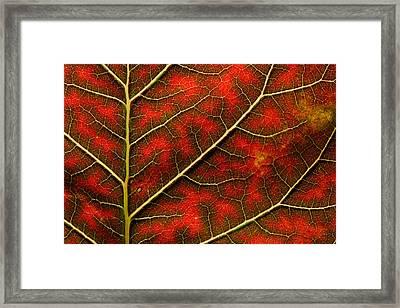 Backlit Close Up Of A Smoke Tree Leaf Framed Print