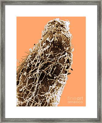 Bacteria On Sorghum Root Tip Framed Print by Science Source
