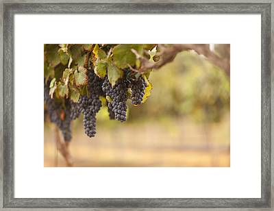 Beautiful Lush Grape Vineyard In The Morning Sun And Mist Framed Print by Andy Dean