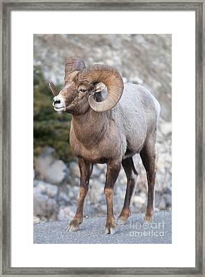 Bighorn Sheep Framed Print by Ginevre Smith