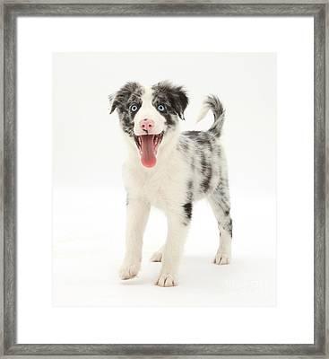 Blue Merle Border Collie Pup Framed Print