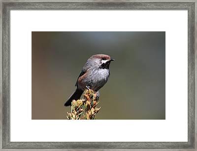 Boreal Chickadee Framed Print