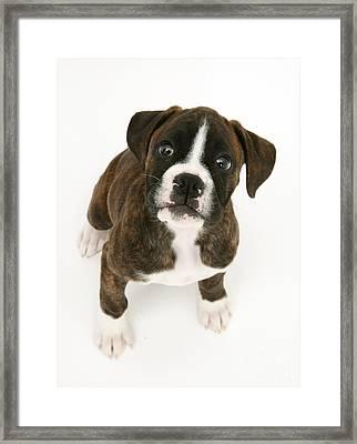 Brindle Boxer Pup Framed Print