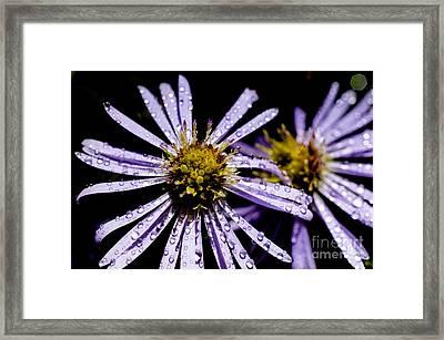 Bushy Aster With Dew Framed Print by Thomas R Fletcher