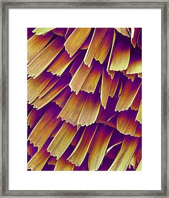 Butterfly Wing, Sem Framed Print by Susumu Nishinaga