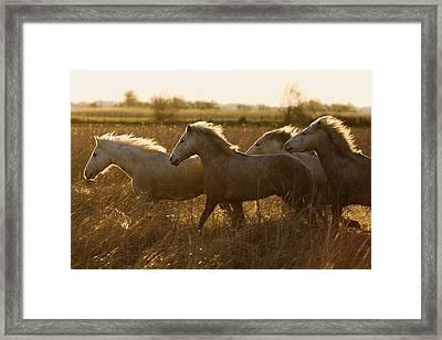 Camargue Horse Equus Caballus Group Framed Print by Konrad Wothe