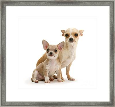 Chihuahua And Puppy Framed Print by Jane Burton