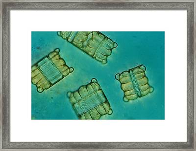 Close View Of Diatoms Framed Print by Darlyne A. Murawski