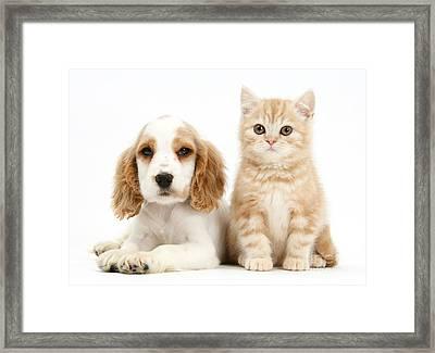 Cocker Spaniel And Kitten Framed Print by Mark Taylor