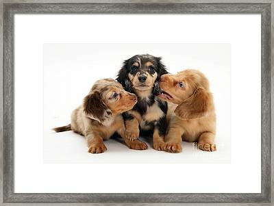 Dachshund Pups Framed Print by Jane Burton