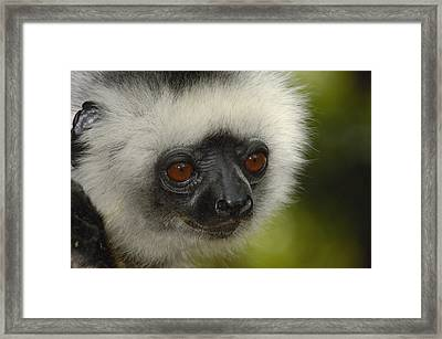 Diademed Sifaka Propithecus Diadema Framed Print by Pete Oxford