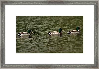 Framed Print featuring the photograph 3 Ducks by Josef Pittner