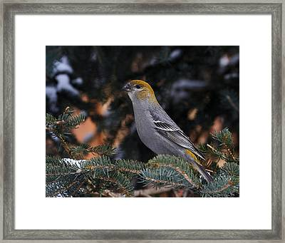 Female Pine Grosbeak Framed Print