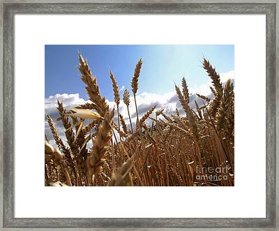 Field Of Wheat Framed Print
