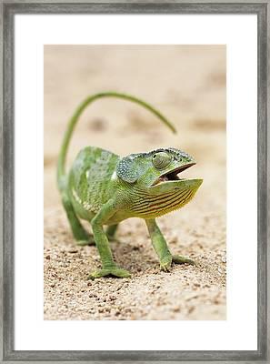 Flap-necked Chameleon Framed Print by Georgette Douwma