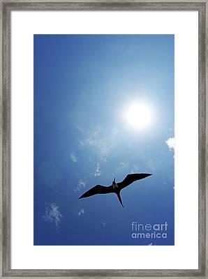 Flying Great Frigate Framed Print by Sami Sarkis