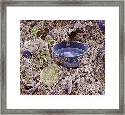 Fossilised Diatoms, Sem Framed Print by Steve Gschmeissner