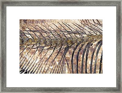 Fossilised Fish Framed Print by Lawrence Lawry