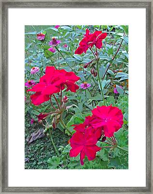 3 Geranium Flowers And Zinnia Framed Print by Padre Art
