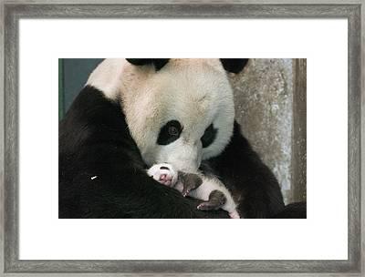 Giant Panda Ailuropoda Melanoleuca Framed Print