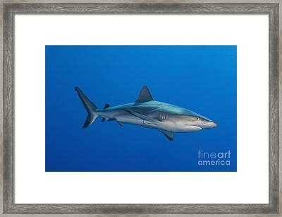 Gray Reef Shark, Kimbe Bay, Papua New Framed Print by Steve Jones