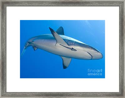 Gray Reef Shark With Remora, Papua New Framed Print by Steve Jones