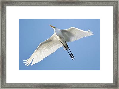 Great White Egret In Flight Framed Print by Paulette Thomas