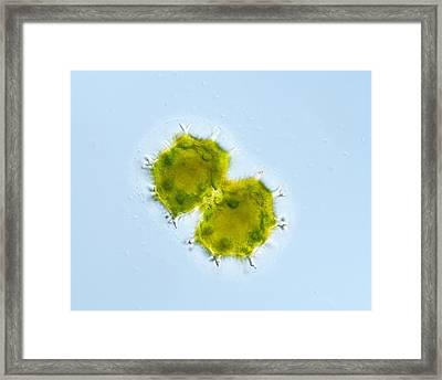 Green Alga, Light Micrograph Framed Print by Gerd Guenther