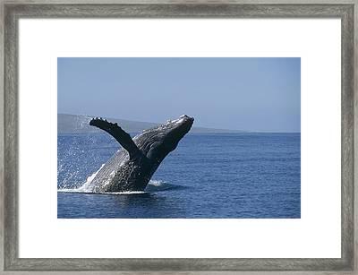 Humpback Whale Breaching Maui Hawaii Framed Print by Flip Nicklin