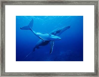 Humpback Whales Framed Print