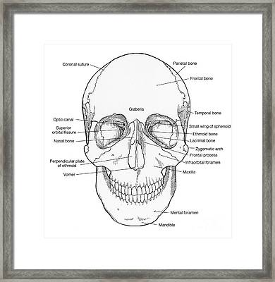 Illustration Of Anterior Skull Framed Print by Science Source