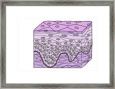 Illustration Of Stratified Squamous Framed Print
