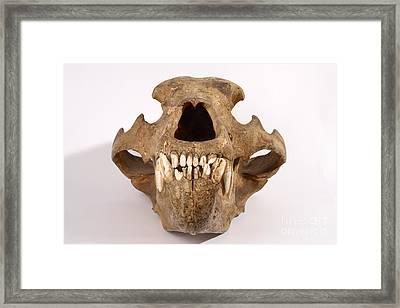 Kodiak Bear Skull Framed Print by Ted Kinsman