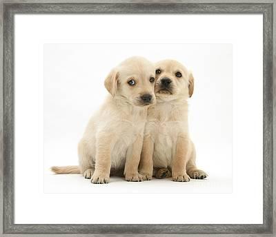 Labrador Retriever Puppies Framed Print by Jane Burton