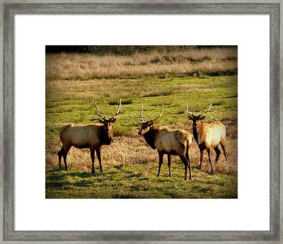 3 Magnificent Bull Elk Framed Print by Cindy Wright