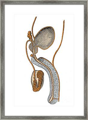 Male Genitourinary System Framed Print by Science Source