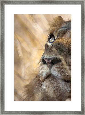 Male Lion Framed Print by Hein Welman