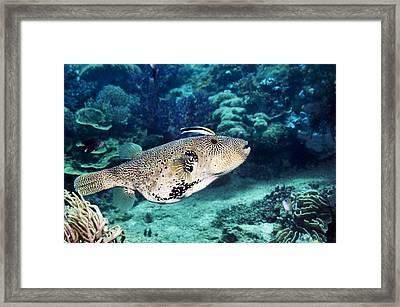 Map Pufferfish Framed Print by Georgette Douwma